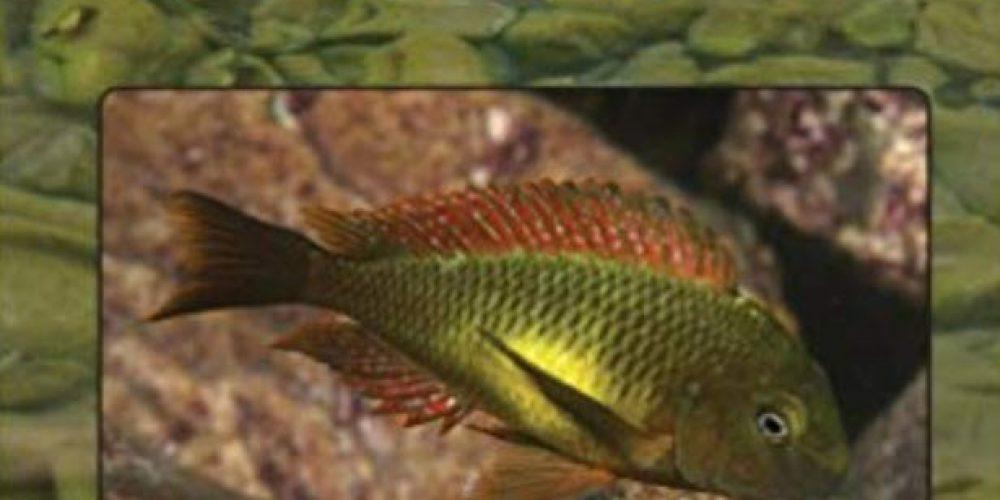 Konings, Ad – TROPHEUS in their Natural Habitat (Tanganyika Cichlids)