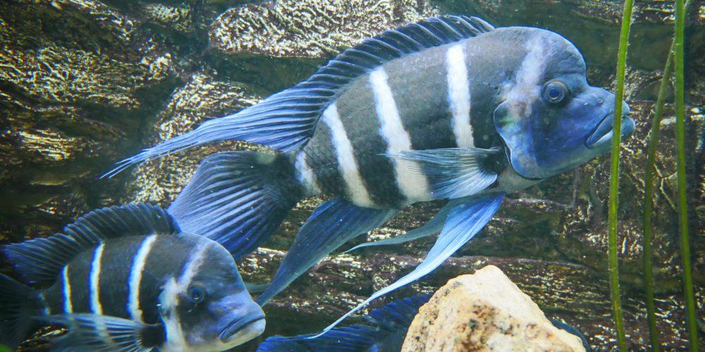 DCG-Region OWL betreut großes Tanganjika-See Aquarium im Lippischen Landesmuseum in Detmold