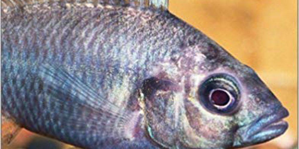 Smith, Mark – Lake Victoria Basin Cichlids