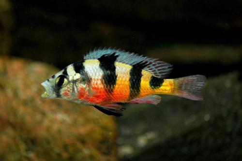 Astatotilapia Latifasciata (Lake Bisina)
