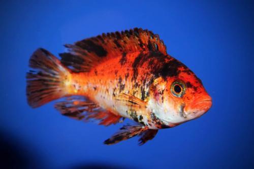 Haplochromis Piebald Red Fin