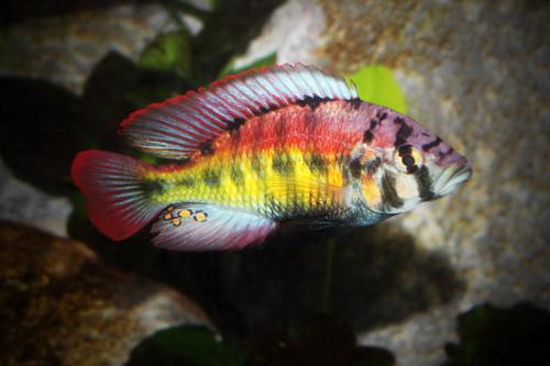 Haplochromis Red Back Scraper