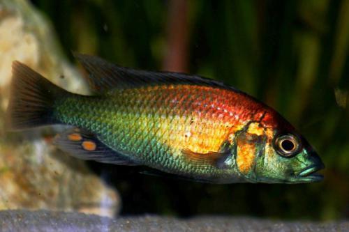 Psammochromis Shubotzi (Kazinga Chanel)