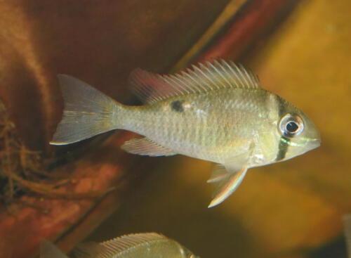 Biotodoma cupido Wildfänge aus dem Rio Nanay
