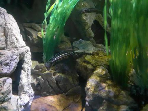 Julidochromis marlieri - 182244