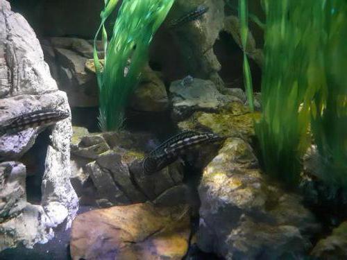Julidochromis marlieri - 182255